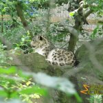 Marwell Wildlife, Snow leopard (female)