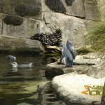 Auckland Zoo, Little penguin (Eudyptula minor), see why some call them little blue penguin
