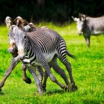 Top ten mammal species reliant on Zoos - 2013, Grevy's zebras