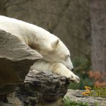 Tierpark Berlin, Polar bear nap