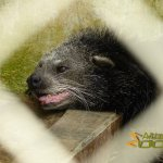 Hanoi Zoo, Binturong (Arctictis binturong) panting due to the heat