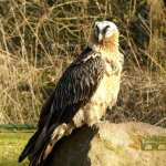 Tierpark Berlin, Bearded vulture (Gypaetus barbatus) in aviary on the hill