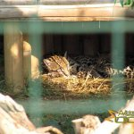 Athens Zoo, Ocelot, female & cub