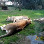 Hilvarenbeek Zoo, Fat and lazy African lions