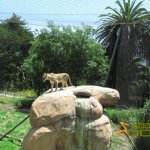 Santa Barbara Zoo, African lioness on the lookout