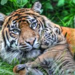 Top ten mammal species reliant on Zoos - 2013, Sumatran tiger and cub