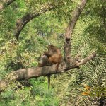 Delhi Zoo, National Zoological Park, Grooming rhesus macaques in tree