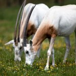 Top ten mammal species reliant on Zoos - 2013, Scimitar-horned Oryx at ZSL Whipsnade Zoo