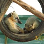 Athens Zoo, Ring-tail coati enrichment