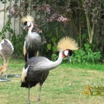 Leeds Castle Aviary, Grey Crowned Crane parents with chick