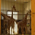Basel Zoo, See how the giraffe has to bend to enter the building
