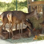 La Barben Zoo, Nilgai and fallow deer