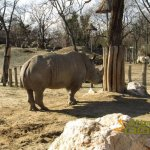 Budapest Zoo, White rhinoceros with other enclosures of African savannah in background