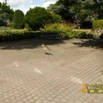 Avifauna Bird Park, Southern screamer goes walkabout