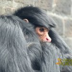 London Zoo, Red-faced black spider monkey (Ateles paniscus paniscus)
