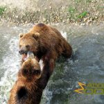 Gelsenkirchen Zoo, Kamchatka bears in action