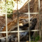 La Barben Zoo, Amur tiger suffering from the heat