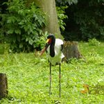 Avifauna Bird Park, Saddle-billed stork in large paddock