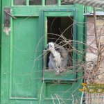 Budapest Zoo, Ring-tailed lemur in lemur house in walk-through courtyard