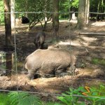 New Forest Wildlife Park, Wild boar in natural habitat