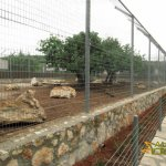 Paphos Zoo, Lion enclosure (opened in July 2011)