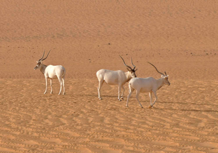Saharan Addax antelope faces imminent extinction