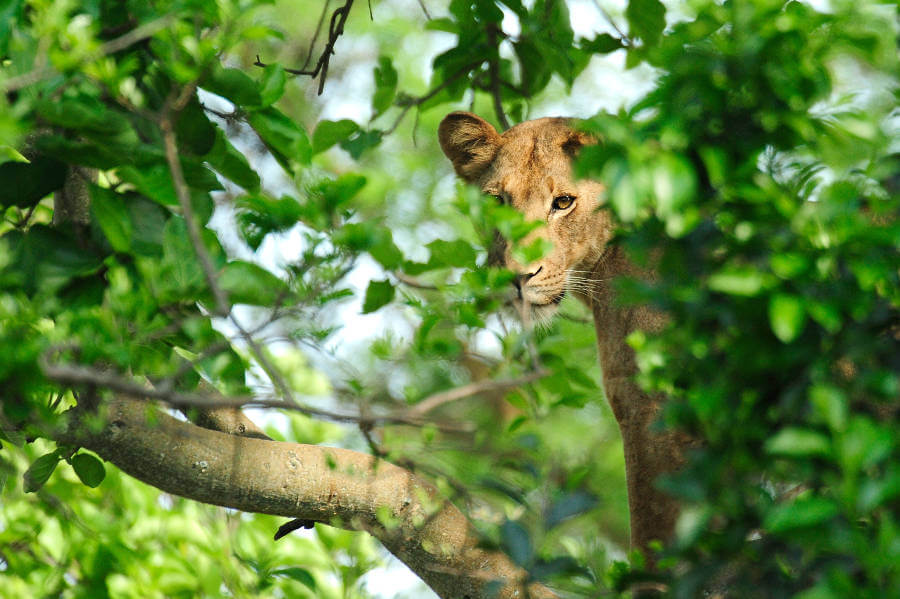 Uganda's famous tree-climbing lions roaming farther as prey animals decrease