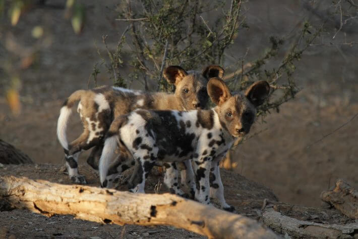 Hot dogs – is climate change impacting populations of African wild dogs?