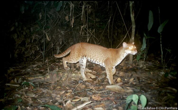 Rare glimpse of African golden cat