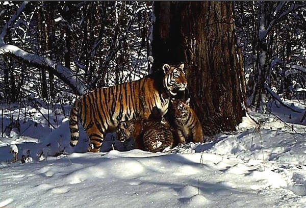 Rewilded Amur tigress in Russian Far East has cubs!