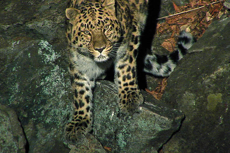 Amur leopard numbers in the wild doubled since 2007