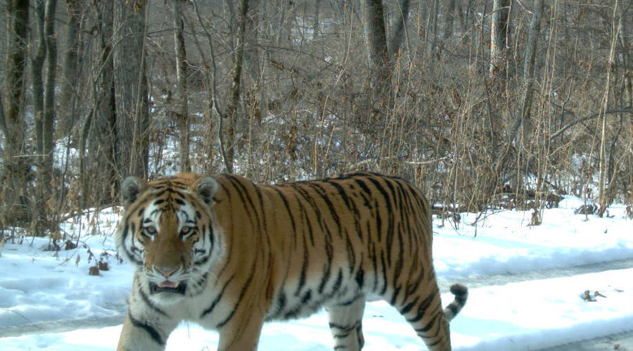 Fewer tiger subspecies improves flexibility of tiger conservation