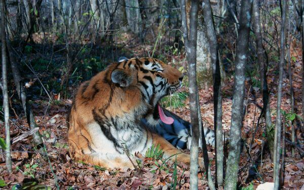 Russia boosts protection for tigers