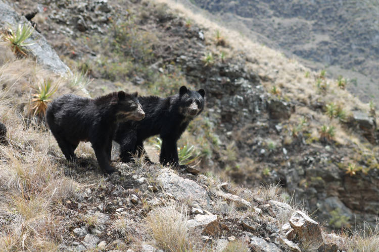 Andean bears at Machu Picchu