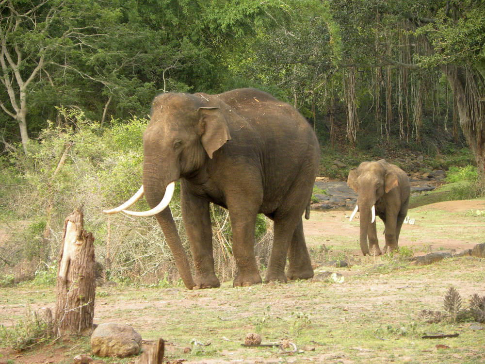 Asian elephants may lose up to 42 percent of suitable habitats in India and Nepal until 2070