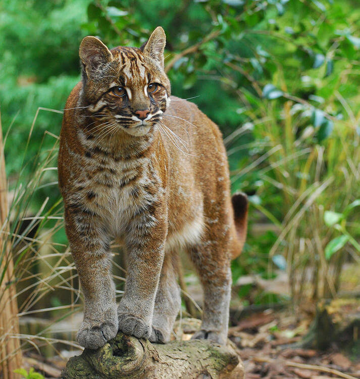 Two closely related felids evolved very differently due to climate change