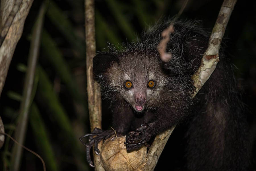 Reason discovered why elusive aye-aye developed such unusual features