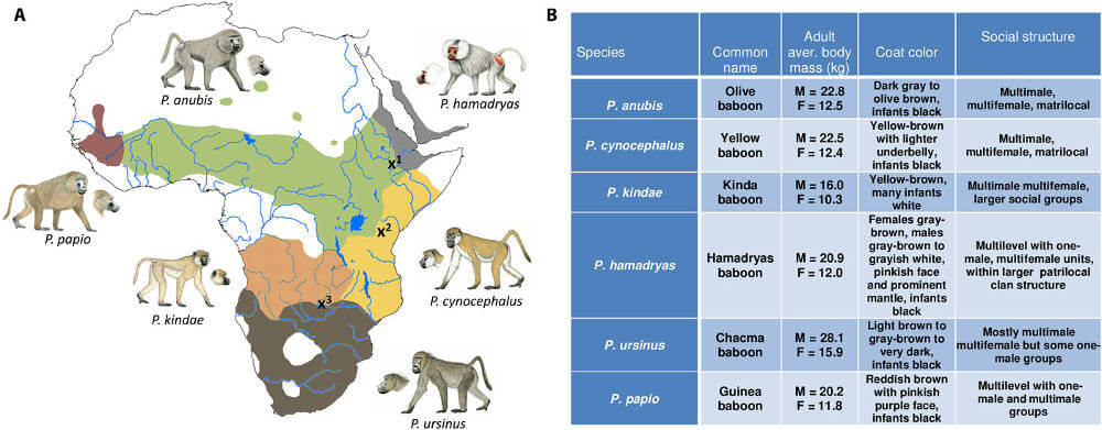 Baboon species distribution