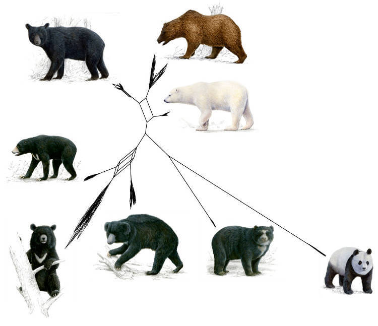 Evolutionary history of bears – New insights