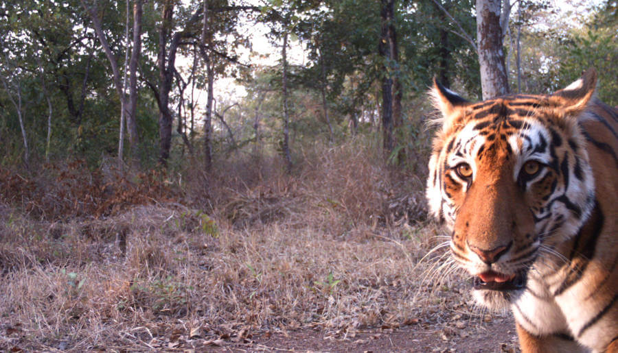 Urbanization may hold key to tiger survival say researchers