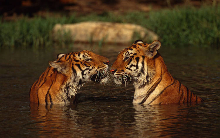 India's tigers come roaring back say Indian researchers