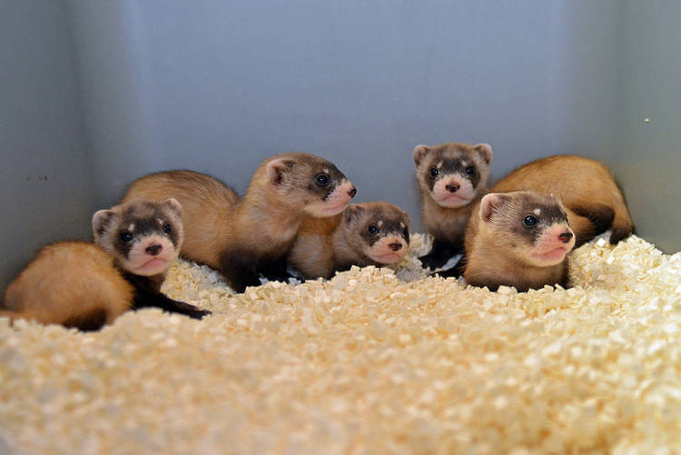 Black-footed ferret diversity boosted by AI with frozen sperm