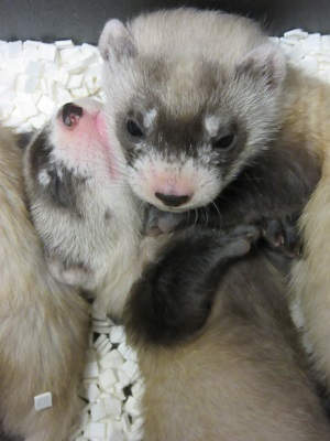 Black footed ferret kits TorontoZoo