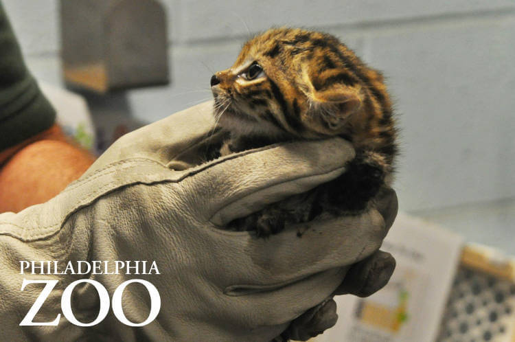 Three black-footed cats born at Philadelphia Zoo