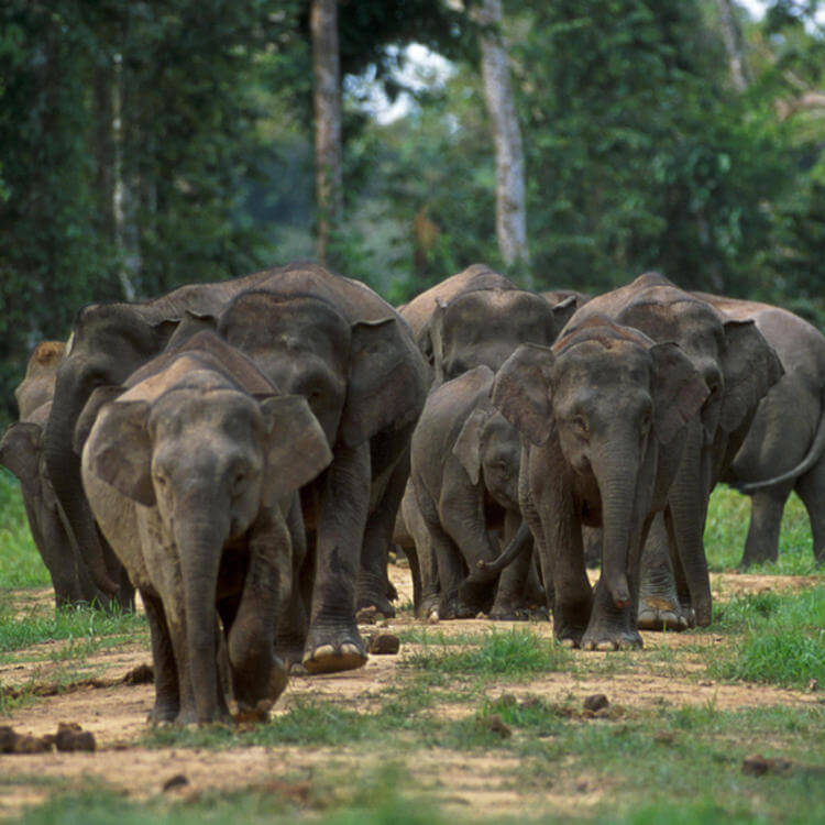 Long-term solutions needed for conservation of Borneo pygmy elephants, says WWF