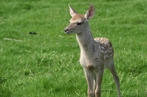 Rare Bukhara deer born at RZSS Highland Wildlife Park