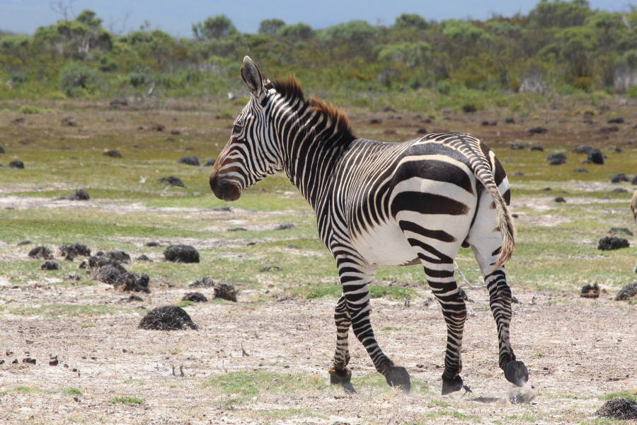 Knowledge on stress hormones in Zebra faeces improves conservation efforts