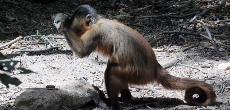 Monkeys in Brazil 'have used stone tools for hundreds of years at least'
