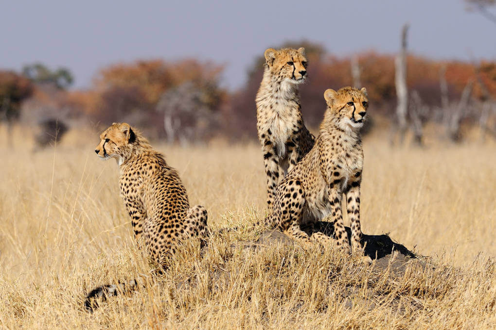 Cheetahs should be listed as Endangered say scientists