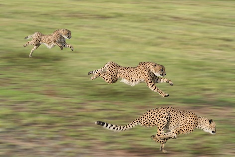 Sprinting towards extinction? Cheetah numbers are plummeting